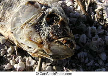 Dead Fish - Rotting dead fish A victim of Salton Sea...
