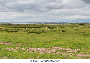 sheep grazing on field of connemara in ireland - nature and...