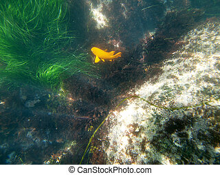 La Jolla Garibaldi - California seagrass and a orange...