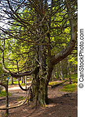 Tall tree at Carpathian mountains - Under the shade of tall...
