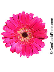 Isolated gerbera flower