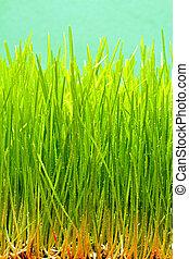 Wheat grass - Fresh crop of natural green wheat grass