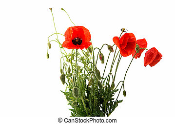 red poppy isolated on a white background