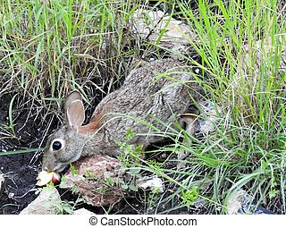 Wild Rabbit - Wild rabbit eating an apple