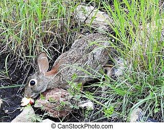 Wild Rabbit - Wild rabbit eating an apple