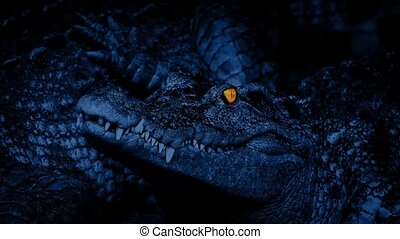 Crocodile With Eyes Glowing - Small crocodile in the dark...