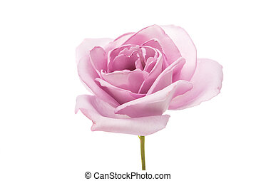 beautiful purple rose on a white background