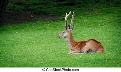 Deer Resting In The Grass - Deer with antlers resets in the...