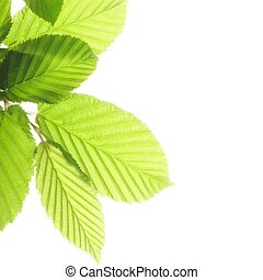 leaf isolated on white background with copyspace