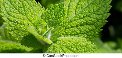 Close up green peppermint leaves. - Fresh looking green...