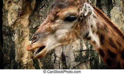 Giraffe Chewing Closeup