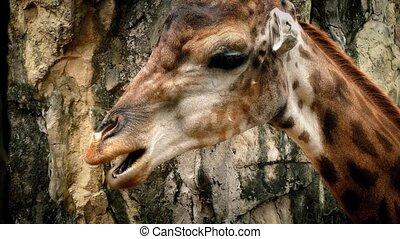 Giraffe Chewing Closeup - Giraffe chews plants closeup