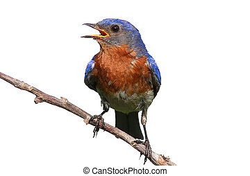 Isolated Bluebird On A Stick