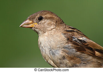 House Sparrow (Passer domesticus) with a greenl background
