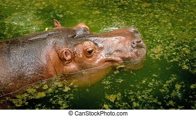 Hippo Goes Underwater - Hippo floating in the water...