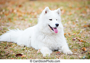 Young samoyed dog in autumn park