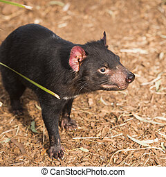 Tasmanian Devil in Hobart, Tasmania during the day