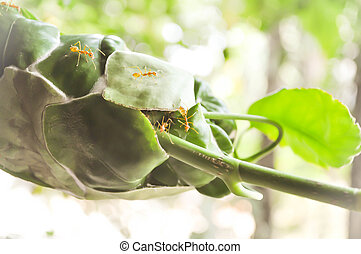 ant's nest or ant's haunt on the leaf