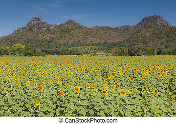 Sunflower field with mountain
