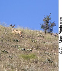 Deer on the hill - A deer stands on the side of a hill at...
