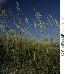 Seagrass against a deep blue sky - Green seagrass against a...
