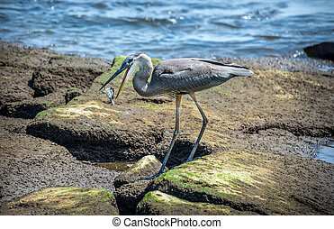 Great Blue Heron Catching a Blue Crab on Chesapeake Bay