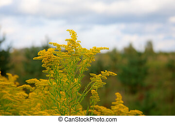 goldenrod flower in a meadow closeup against the sky