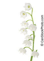 lily of the valley - Studio Shot of White Colored Lily Of...