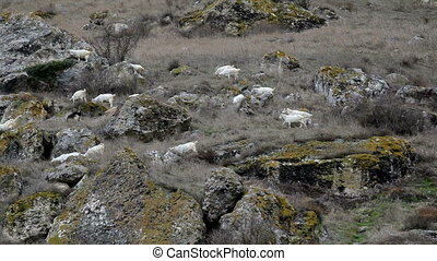 Goats on a mountain pasture - Goats grazing in the mountains...
