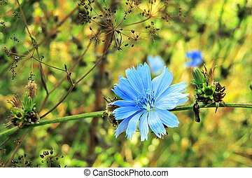 Chicory in the field - Closeup of blue Chicory flower on a...