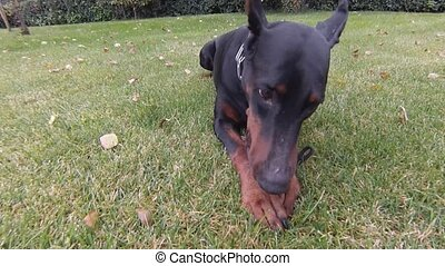Black dog ball playing - Big doberman dog plays outdoors