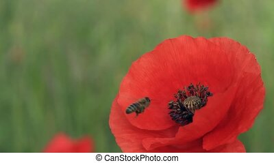 Bee on poppy closeup - A bee pollinating a poppy flower...