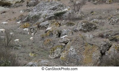 Goats on a mountain pasture - Feral goats graze among the...