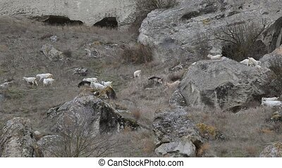 Goats on a mountain pasture - Goats grazing among the rocks...
