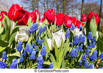 Red white blue flowers in spring season - Red white blue...