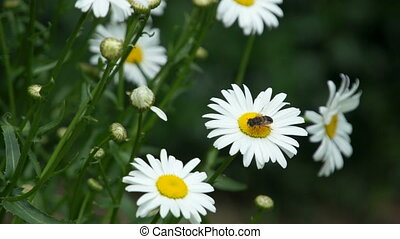 camomile flower with insects fly above - camomile flower...