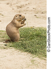 Grass eating North American Prairie dog - A grass eating...