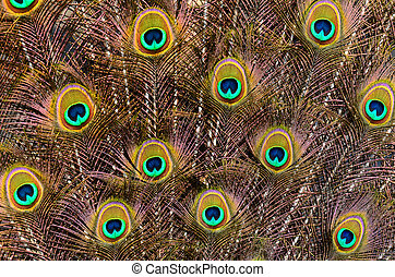 Peacock feathers - Detail of an open tail of male peacock.