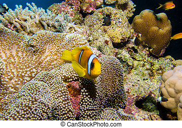 Nemo fish in an anemone - Nemo or red sea clownfish in an...