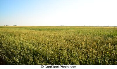 Field of oats in evening at sunset - Field of young oats in...