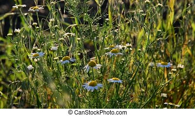Meadow with daisies in evening light - Meadow with daisies...