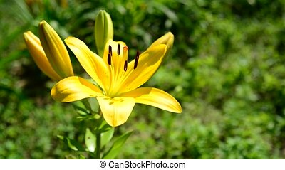 Flower yellow varietal lilies close-up - Flower yellow...