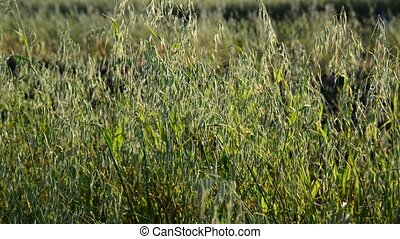 young oats closeup in evening at sunset - young oats closeup...