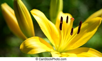 Flower yellow varietal lilies close-up