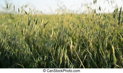 Young oats swaying in wind - Young oats swaying in the wind