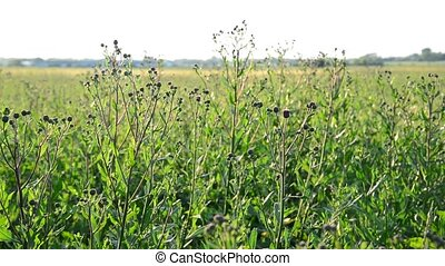 Field with weed closeup at backlit - Field with weed closeup...