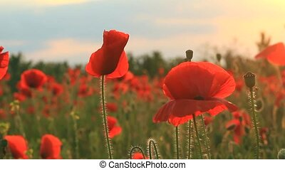 Poppies at sunset background - Red poppies close-up on...