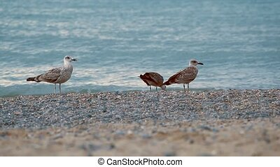 Gulls on the beach - Gulls on the coast looking for food