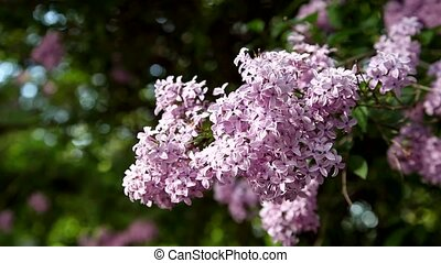 Lush branch with flowers of lilac - branch of lilac swaying...