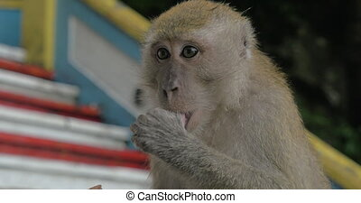 At Batu Caves, Malaysia seen close-up monkey